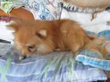 Собаки, щенята Малий шпіц, ціна 2500 Грн., Фото