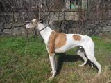 Собаки, щенки Грейхаунд, цена 700 Грн., Фото