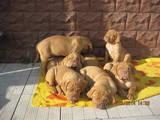 Собаки, щенята Бордоський дог, ціна 1000 Грн., Фото