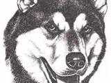 Собаки, щенки Восточно-Сибирская лайка, цена 0.10 Грн., Фото