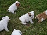 Собаки, щенята Американський бульдог, ціна 2500 Грн., Фото