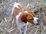 Собаки, щенята Англійський пойнтер, ціна 700 Грн., Фото