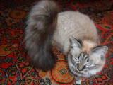Кішки, кошенята Бірманська, Фото