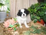 Собаки, щенки Японский хин, цена 800 Грн., Фото