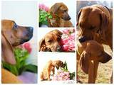 Собаки, щенки Родезийский риджбек, цена 2000 Грн., Фото