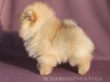 Собаки, щенки Карликовый шпиц, цена 22000 Грн., Фото