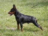Собаки, щенки Карликовый пинчер, цена 1600 Грн., Фото