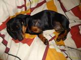 Собаки, щенки Жесткошерстная миниатюрная такса, цена 400 Грн., Фото