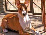 Собаки, щенки Басенджи, цена 9000 Грн., Фото