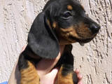 Собаки, щенки Гладкошерстная миниатюрная такса, цена 800 Грн., Фото