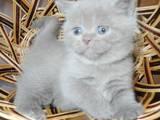 Кішки, кошенята Шотландська висловуха, ціна 800 Грн., Фото