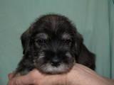 Собаки, щенки Миттельшнауцер, цена 4000 Грн., Фото