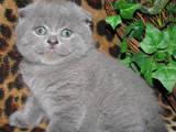 Кошки, котята Шотландская вислоухая, цена 1200 Грн., Фото