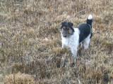 Собаки, щенята Жорсткошерстий фокстер'єр, ціна 550 Грн., Фото