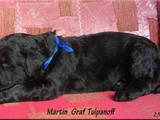 Собаки, щенки Черный терьер, цена 3500 Грн., Фото