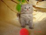 Кішки, кошенята Британська довгошерста, ціна 2000 Грн., Фото
