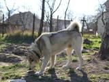 Собаки, щенята Спаровування, ціна 1 Грн., Фото