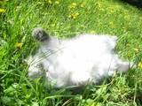 Кошки, котята Персидская, цена 200 Грн., Фото