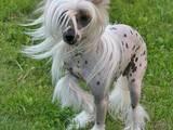 Собаки, щенята Китайська чубата собака, ціна 500 Грн., Фото