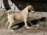 Собаки, щенки Салюки, цена 5000 Грн., Фото