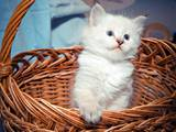 Кошки, котята Невская маскарадная, цена 3500 Грн., Фото