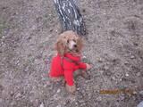 Собаки, щенки Малый пудель, цена 1500 Грн., Фото