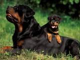 Собаки, щенки Ротвейлер, цена 500 Грн., Фото