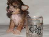 Собаки, щенята Китайська чубата собака, ціна 1200 Грн., Фото