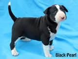 Собаки, щенки Бультерьер, цена 7000 Грн., Фото