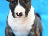 Собаки, щенята Бультер'єр, ціна 7000 Грн., Фото