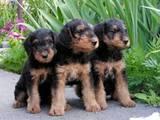 Собаки, щенята Ердельтер'єр, Фото
