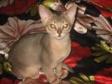 Кошки, котята Абиссинская, цена 5200 Грн., Фото