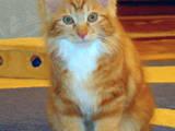 Кошки, котята Курильский бобтейл, цена 4500 Грн., Фото