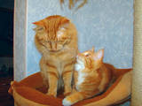 Кішки, кошенята Курильський бобтейл, ціна 4500 Грн., Фото