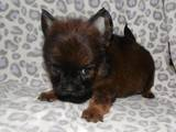 Собаки, щенки Померанский шпиц, цена 1500 Грн., Фото