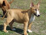 Собаки, щенята Мініатюрний бультер'єр, ціна 7800 Грн., Фото