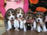 Собаки, щенята Ганноверська гонча, ціна 600 Грн., Фото