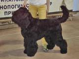 Собаки, щенята Чорний тер'єр, ціна 12000 Грн., Фото