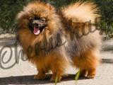 Собаки, щенки Спаривание, цена 2500 Грн., Фото