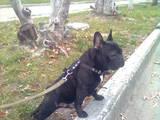 Собаки, щенята Спаровування, ціна 1500 Грн., Фото