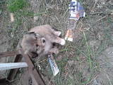 Собаки, щенята Вартова, ціна 10 Грн., Фото
