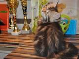 Кошки, котята Сибирская, цена 4000 Грн., Фото