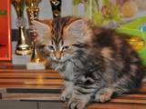 Кішки, кошенята Сибірська, ціна 4000 Грн., Фото