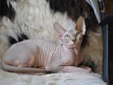 Кошки, котята Канадский сфинкс, цена 2500 Грн., Фото
