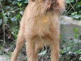 Собаки, щенята Бельгійський гріффон, ціна 5000 Грн., Фото