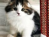 Кішки, кошенята Highland Fold, ціна 5500 Грн., Фото