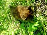 Кішки, кошенята Персидська, ціна 400 Грн., Фото