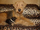 Собаки, щенки Эрдельтерьер, цена 1000 Грн., Фото