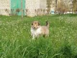 Собаки, щенки Длинношерстный колли, цена 5000 Грн., Фото