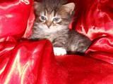 Кошки, котята Британская длинношёрстная, цена 500 Грн., Фото